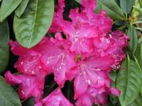Rhododendron 'Antonín Dvořák'
